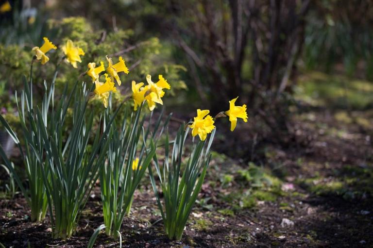 5 yellow daffodils